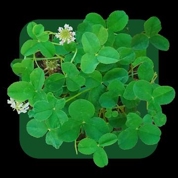 四つ葉のクローバー【Four-Leaf Clover】 アイコン